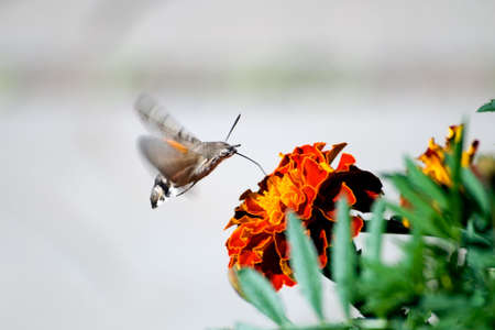 The butterfly drinks nectar from a flower of a calendula