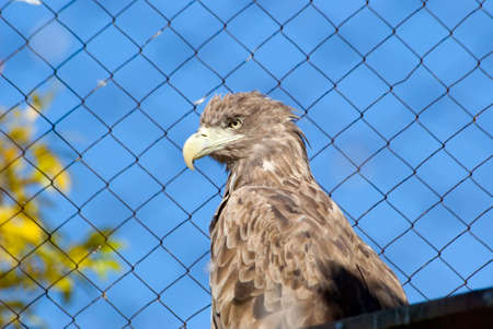 White-tailed (sea) eagle sits in a cage in a zoo on a background of blue sky photo