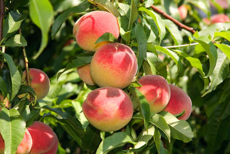 Red peaches hang on a tree between green leafes