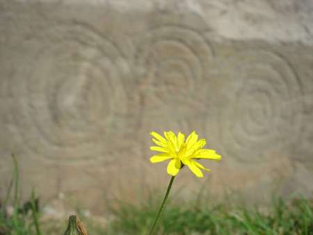 Flower at Newgrange photo