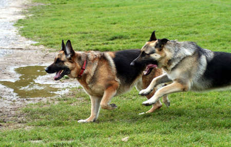 Racing Alsatians photo