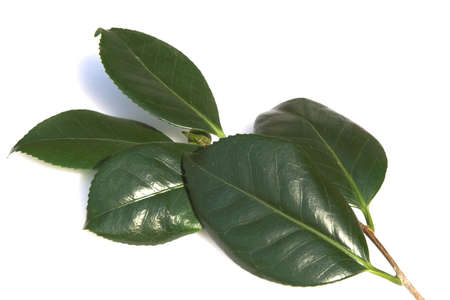 Spray of Camellia leaves on a satin-finished dish Stock Photo - 845181
