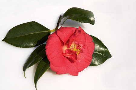 Camellia on a bed of shiny leaves on a satin-finished dish