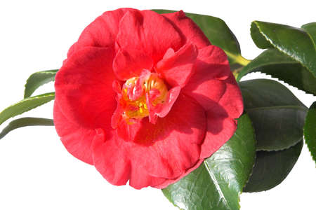 Semi single red camellia with its own shiny green leaves. The extra petals surround the stamens Stock Photo - 849969