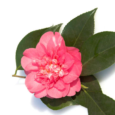 Single pink and white camellia on a bed of leaves Stock Photo - 849968