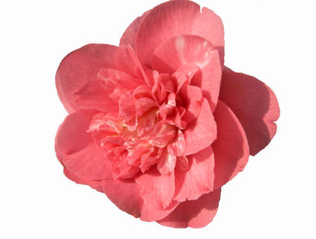 Double pink and white camellia Stock Photo - 851546