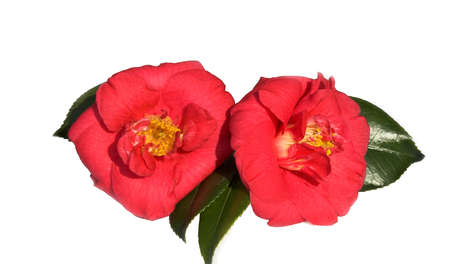 Pair of bright red camellias with leaves Stock Photo - 851547