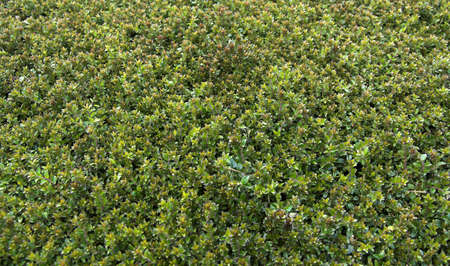 close-up of a section of tightly clipped hedge, just starting to show new shoots Stock Photo