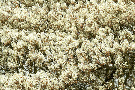 Amalanchier blossom used as a textured background Stock Photo - 871087