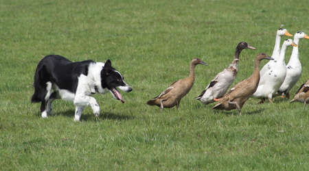 dedicated: Dedicated sheep-dog turning his attention to Indian Runners