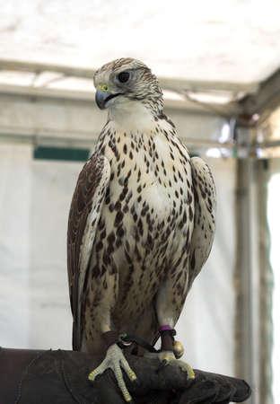 handler: Hawk inside tent, perched on the heavy gauntlet of his handler