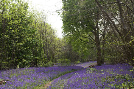 A blur of blue flowers carpeting an English woodland in springtime Stock Photo - 897069
