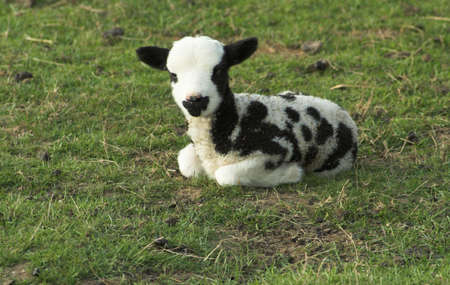 ovine: Black & white lamb of the variety Jacob - he appears to have been rolling in leaves and he does have two eyes !