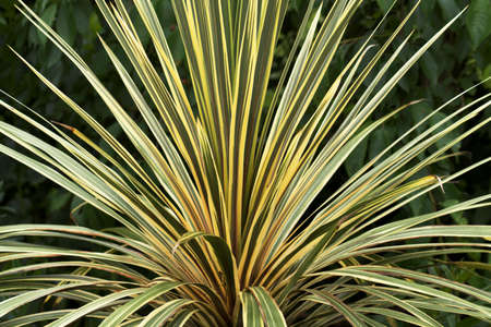 cordyline: Cordyline fanned out like a peacocks tail Stock Photo
