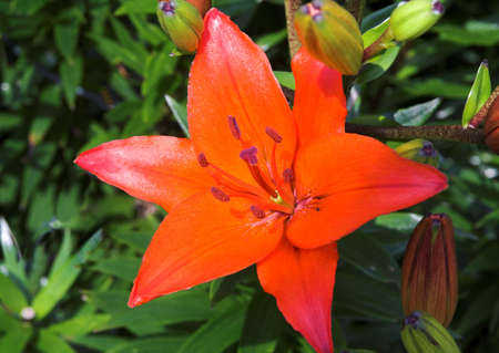 Scarlet lily standing out from own leafy background Stock Photo - 1016785