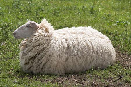Sheep awaiting shearing to lose that fur coat