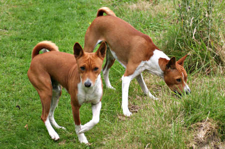 Brother Basenjis searching for treats