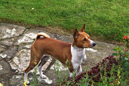 quizzical: Joven cachorro pregunto �qu� est� pasando  Foto de archivo
