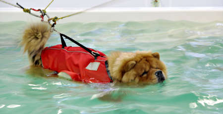 Dog, a Chow-Chow, swimming against the current generated in a canine therapy pool Stock Photo