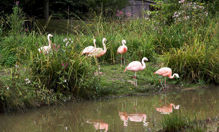 which: Idyllic scene of pink flamingos entering the water which reflects them Stock Photo