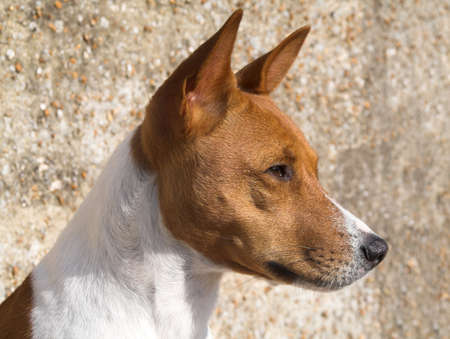 inscrutable: Head study of a magnificant Basenji against a pebble-dash wall