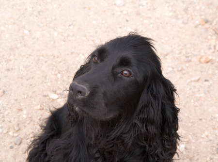 matted: Very old black Spaniel with matted coat looking hopeful