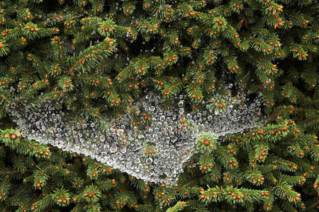 affixed: A spiders web has caught the rain and reflects the conifer to which it is affixed