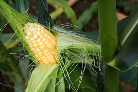Opened cob of sweetcorn on the plant Stock Photo