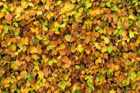 section of a beech hedge, leaves turning golden in autumn Stock Photo