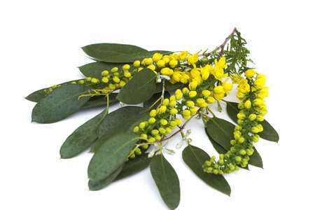 Spray of Mahonia on Eucalyptus leaves with olive coloured leaves and tiny white flowers Stock Photo