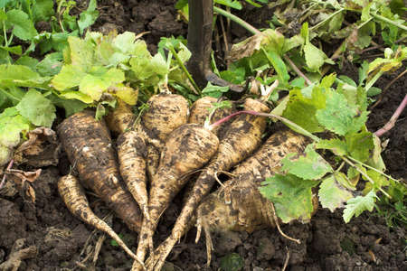 parsnips: Muddy parsnips freshly dug from the wet ground