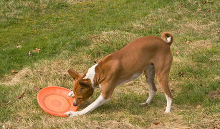 inscrutable: A Basenji uses front paws and teeth to demonstrate on a frisbee how to rend prey
