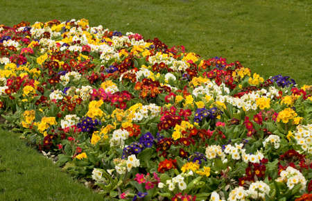 polyanthus: Bed of bright polyanthus plants, battered in the rain but still colorful