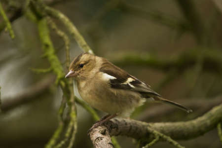 flier: Chaffinch with oddly crossed beak sitting on a branch