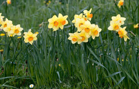 Small daffodils or jonquils smiling at the camera Stock Photo - 2767709