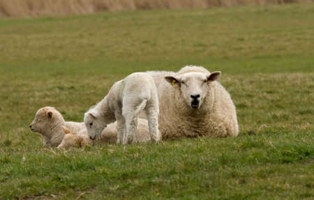 woken: Two sleeping lambs being woken by a third while Mother watches Stock Photo
