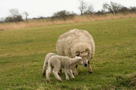 ewes: Mom looks to be warning the kids off ! Stock Photo