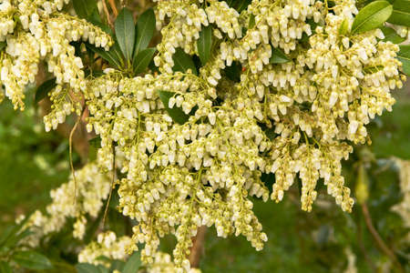 pieris: Pieris or Lily Of the Valley bush covered in blossom in springtime