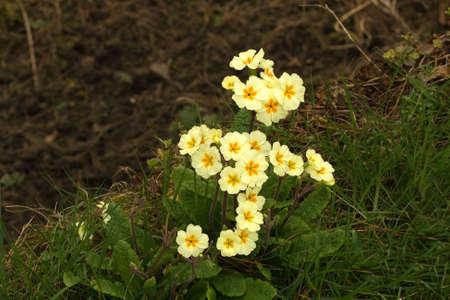 primroses: Polyanthus or Primroses lighting up dark woodland