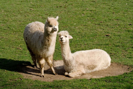 Two llamas, one lying in a dust bowl photo