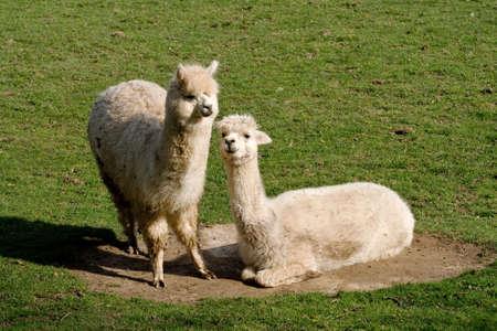 grazer: Two llamas, one lying in a dust bowl