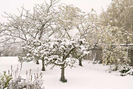 precipitacion: Sussex huerto bajo la nieve, cuando las hojas y flores ya est�n fuera
