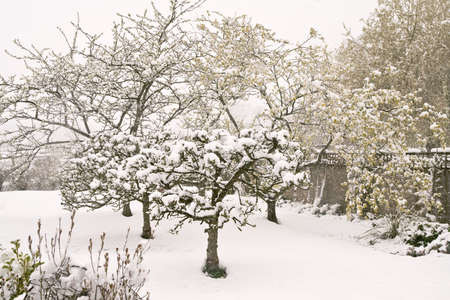 Sussex orchard under snow when leaves and blossoms are already out Stock Photo