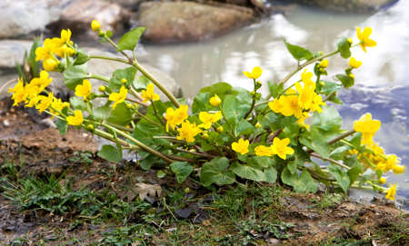 Kingcups - large buttercups, planted beside water Stock Photo - 2820557