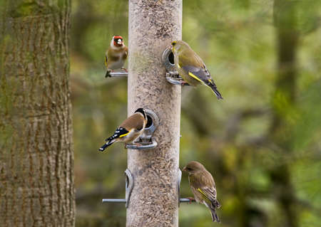 flier: Four gold-finches feeding from a container of sunflower seeds