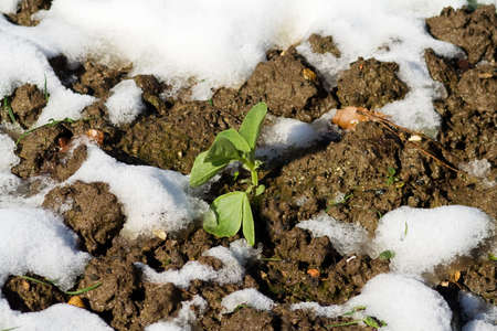bedraggled: Bedraggled Bean Plant emerging from melting snow Stock Photo
