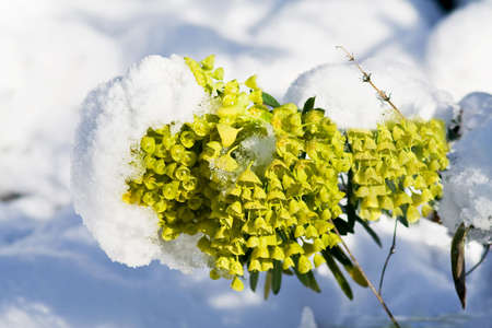bedraggled: Melting snow covering the yellow head of an evergreen euphorbia plant Stock Photo