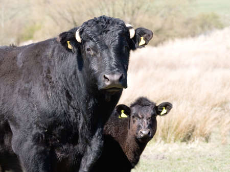 peering: Young calf peering around from behind his mother Stock Photo