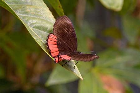 biblis: Red Rim Biblis hyperia alighted on a laurel leaf