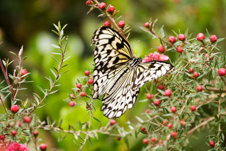 settled: Paper Kite Butterfly on Tea Tree flowers